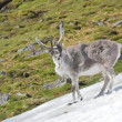 Arctic wild reindeer — Stock Photo #14688525