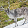 Arctic wild reindeer — Stock Photo #14688565
