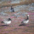 Stock Photo: Barnacle gees - Spitsbergen, Arctic