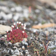 Arctic tundra flowers — Stock Photo