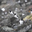 Little Auk — Stock Photo