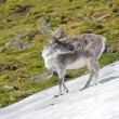 Arctic wild reindeer — Stock Photo #14689121