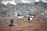 Barnacle gees - Spitsbergen, Arctic — Stock Photo