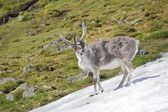 Arctic wild reindeer — Stock Photo