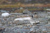 Kuşlar yuvalama ve üreme — Stok fotoğraf