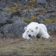 Stock Photo: Young polar bear in the Arctic
