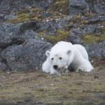 Young polar bear in the Arctic — Stock Photo