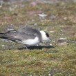 Skua on the Arctic tundra — Stock Photo