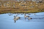 Eider ducks in a little pond - Arctic, Spitsbergen — Stock Photo