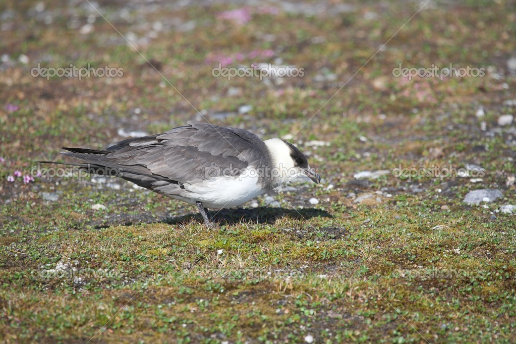 Skua on the Arctic tundra  Stock Photo #17878785