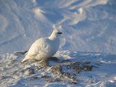 Rock ptarmigan - Arctic wildlife — Stock Photo