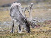 Wild Arctic reindeer - Spitsbergen, Arctic — Stock Photo