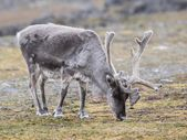 Wild Arctic reindeer in natural environment — Stock Photo