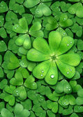Clover for luck. Patrick — Stockfoto