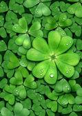 Växt av släkten trifolium för lycka. patrick — Stockfoto