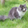 Grey-white persian cat — 图库照片