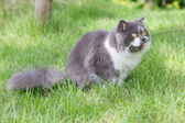 Grey-white persian cat — Stockfoto