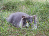 Persian cat play hide and seek in green yard — Stock Photo