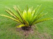 Bird's nest fern or Asplenium nidus — Zdjęcie stockowe