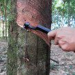 Rubber tree tapping — Stock Photo