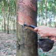 Rubber tree tapping — Stockfoto