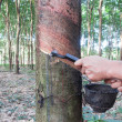 Rubber tree tapping — Stock fotografie