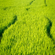 Rice crop - Stock Photo
