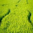 Rice crop — Stock Photo
