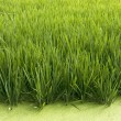 Rice crop — Stock Photo #15610941