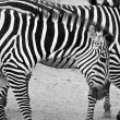 Black and white zebras — Stock Photo