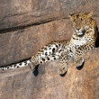 Leopard resting on a rock — Stock Photo #18485923