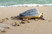 Loggerhead Sea Turtle — Stock Photo