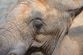 Testa di elefante — Foto Stock