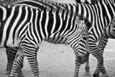 Black and white zebras — Stock Photo