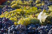 Grapes gathered — Stock Photo