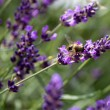 Stock Photo: Bee on Lavender