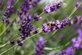 Bee on Lavender — Stock Photo