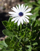 Osteospermum eclosis — Stock Photo