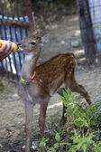 Fawn and milk — Stock Photo