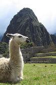 Llama in Peru — Stock Photo