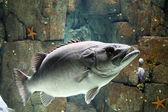 Büyük balık — Stok fotoğraf