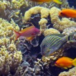 Reef fishes - Foto de Stock
