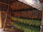 Tobacco leaves drying — Stock Photo
