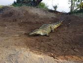 Crocodile close up — Stok fotoğraf