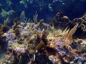 Corales en el caribe — Foto de Stock