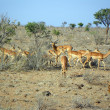 Young gazelles at lunch — Stock Photo