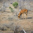 Male impala — Stock Photo #18531869