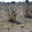 Young gazelles at lunch - Stock Photo