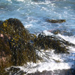 Seaweed — Stock Photo #20119687