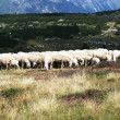 Sheep grazing in mountain — Stock Photo